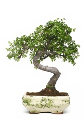 bonsai japanese tree isolated on white background