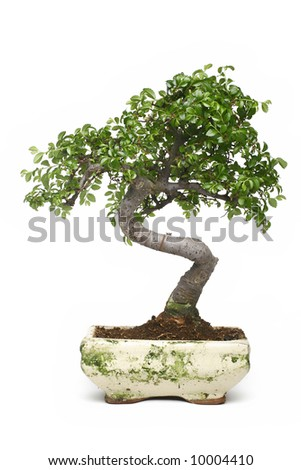 bonsai japanese tree isolated on white background - stock photo