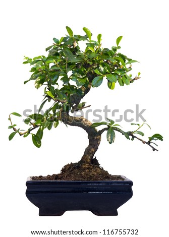 bonsai. japanese tree on white background.  isolated