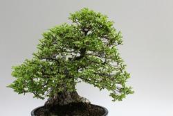 Bonsai of Korean hornbeam tree Carpinus Coreana on light grey background