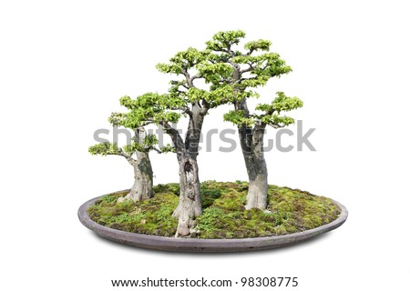 Bonsai on Isolated background