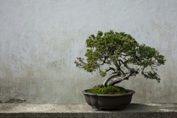 Bonsai pine tree potted with white wall as background