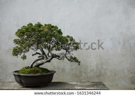 Bonsai pine tree potted with white wall as background Сток-фото ©