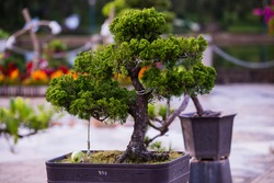 Bonsai pine trees in a pot in park of flowers in Dalat, Vietnam