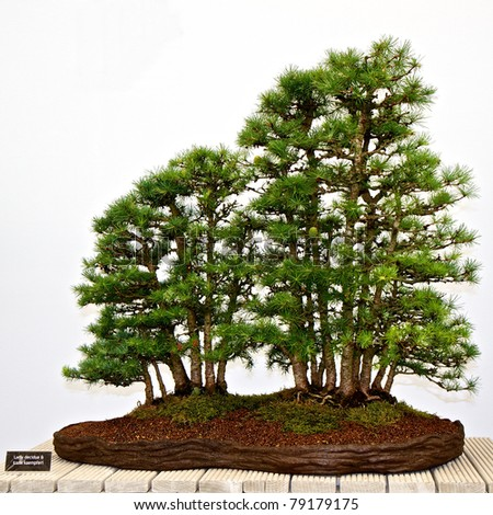 Bonsai pines isolated on a white background with botanical name plate