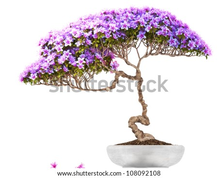 Bonsai potted tree ,side view,with a white background,part of a bonsai series.