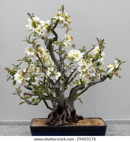 Bonsai tree against a white background.  Lesser Flowering Quince, style Clump.