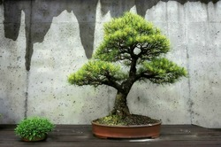 Bonsai Tree at the North Carolina Arboretum