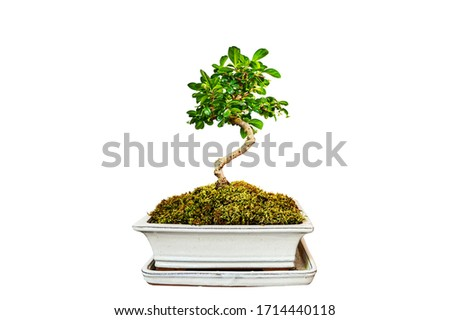 Bonsai Tree green ,Nature white Background Photo stock ©