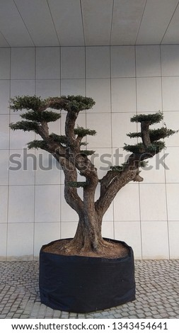 Bonsai tree in a black pot against the grey wall & ceiling tiles, grey stone pavement. Japanese ornamental tree,having flat-topped asymmetrical branches, grow in an air-pot container. #1343454641