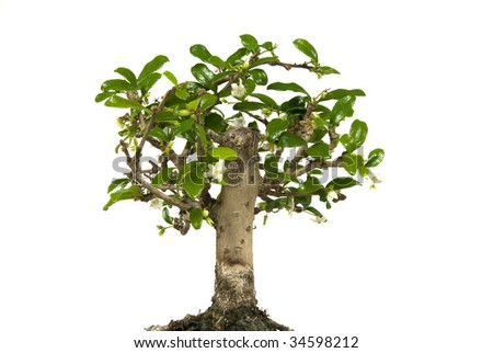 Bonsai tree in flower isolated on a white background
