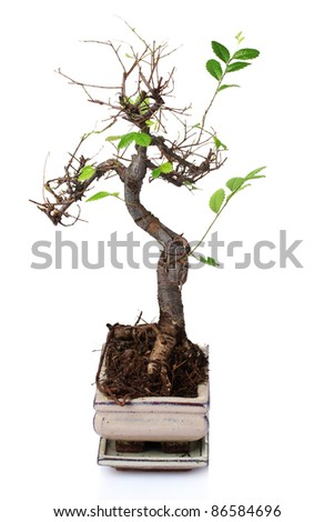 bonsai tree in flowerpot isolated on white - stock photo