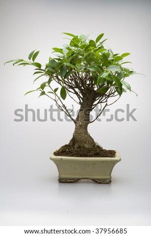Bonsai tree in pot on white background