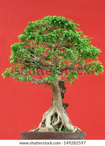 bonsai tree in potted on red wall background