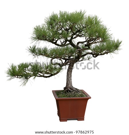 bonsai tree isolated on white, miniature pine tree