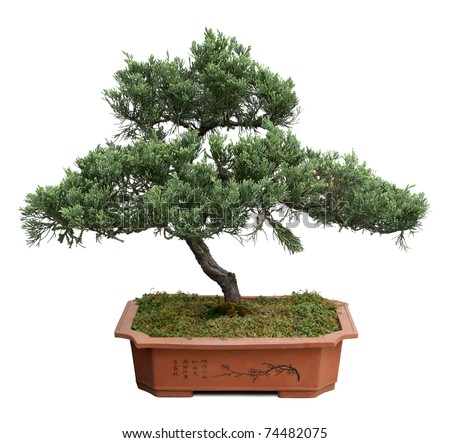 bonsai tree of  pine  in a ceramic pot  isolated on white