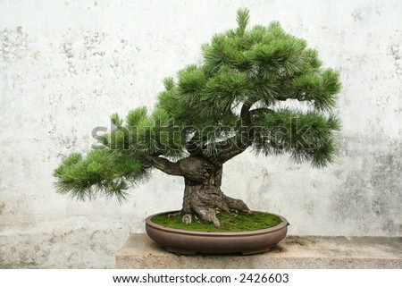 bonsai tree pine - stock photo