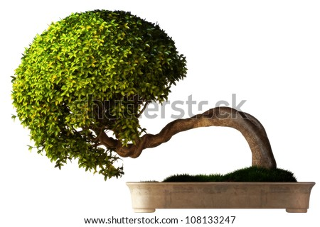 Bonsai tree side view with a white background. Part of a Bonsai series. stock photo