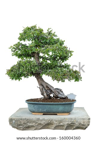 Bonsai tree with white background