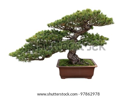 bonsai tree with white background , miniature pine tree