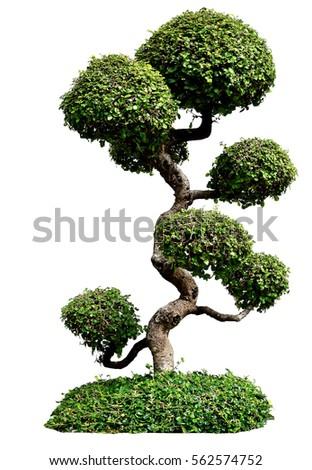 Bonsai trees on white background, Isolated image #562574752