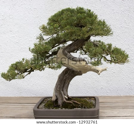 Bonsai Twisted Trunk