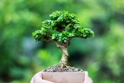 Bonsai will be successfully through the process of caring for so many countless times, including implications, cutting, bending, including care, to achieve the most beautiful bonsai trees.