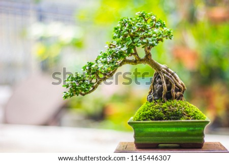 Bonsai will be successfully through the process of caring for so many countless times, including implications, cutting, bending, including care, to achieve the most beautiful bonsai trees. Photo stock ©