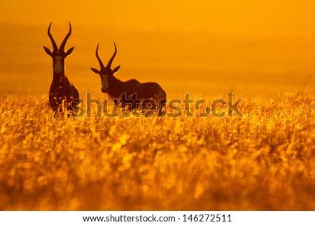Bontebok pair standing in golden grass at sunset, Golden Gate National Park, South Africa