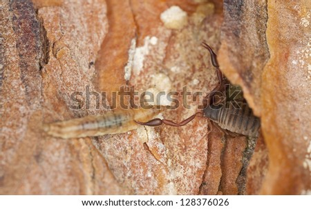 Book scorpion or false scorpion with prey, extreme close-up with high magnification - stock photo