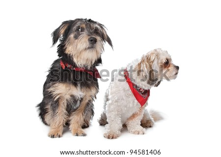 Boomer and maltese dog in front of a white background