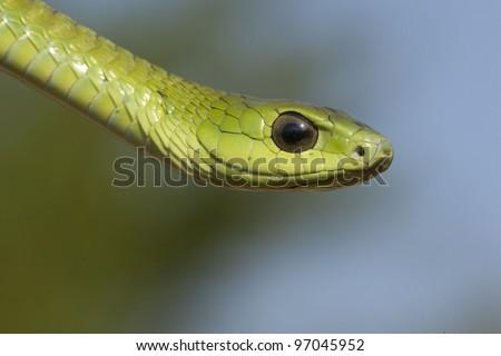 Boomslang snake, (Dispholidus typus) - stock photo