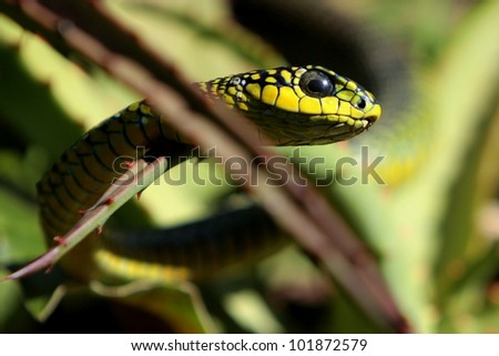 Boomslang / Tree snake on an Aloe plant in eastern cape, south africa