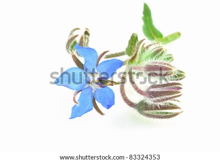 Borage Flower - stock photo