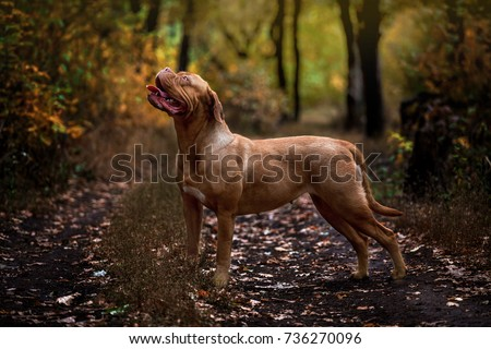 Bordeaux dog walking in the autumn forest