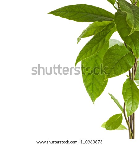 Border branch of avocado tree isolated on white background
