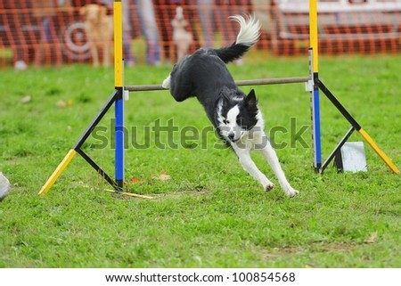 Border Collie Agility Competition in Hazard fence jumping