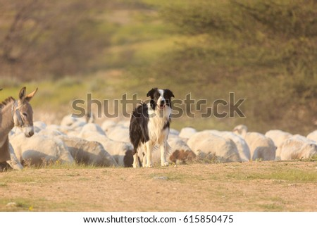 Border collie and donkey with herd of sheep Stockfoto ©