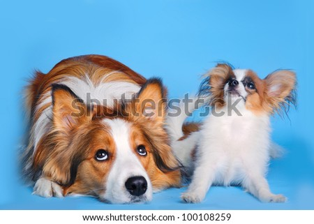 border collie and pappilion puppy