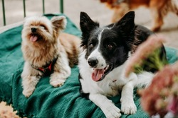 Border Collie and Yorkshire Terrier lie on a green lounger. Chill area for animals in the urban space for events. Dogmarket