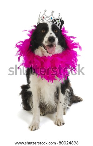 Border collie as dog princess in pink with crown