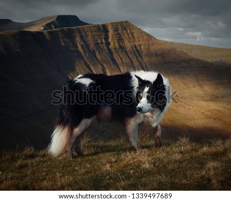 Border Collie At Brecon Beacons National Park