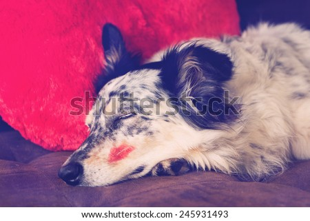 Border collie Australian shepherd dog lying down on brown couch with red valentine\'s day heart love pillow and lipstick kiss on cheek sleeping eyes closed looking relaxed tired patient waiting filter