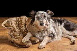 Border collie Australian shepherd dog lying down on tan veteran military combat boots looking sad grief stricken in mourning depressed abandoned alone emotional bereaved worried feeling heartbreak