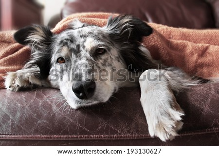 stock-photo-border-collie-australian-shepherd-dog-on-couch-under-blanket-looking-sad-bored-lonely-sick-193130627.jpg