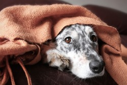 Border collie / Australian shepherd dog under blanket on couch looking hopeful lonely sick tired bored cute thoughtful