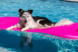 Border Collie / Australian Shepherd mix dog laying on a float in a pool looking relaxed happy goofy funny cute hot