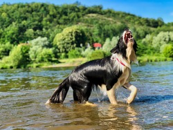 Border Collie Barking in River in Czech Republic. Wet Black and White Dog looking funny/scary in the Vltava River in Czechia.