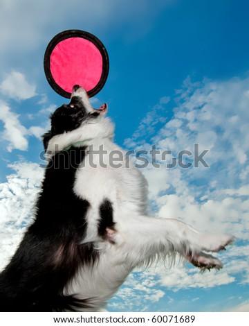 Border Collie catches disc.