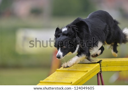 Border Collie crossing dog-walk obstacle on agility course
